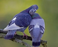 Пара влюбленных голубей