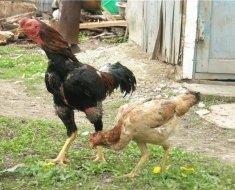 Бойцовая пара птиц на прогулке