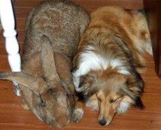 Бельгийский великан и собака лежат
