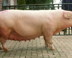 Белая свинка во дворе