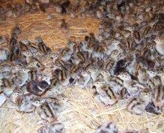 Маленькие цыплята фазанов в сарае