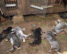 Павшее от болезней поголовье кролей