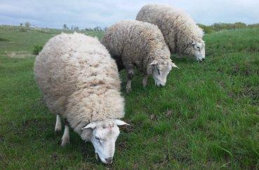 Мериносные овцы на выгуле
