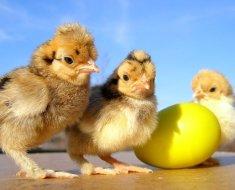 Цыплята породы Тетра рядом с яйцом