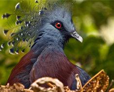 Венценосный голубь в природе