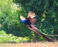 Жар-птица взлетает в поле
