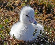 Птенец тундрового лебедя
