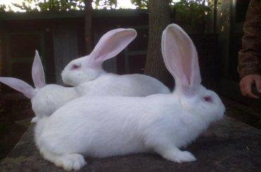 Несколько кроликов великанов
