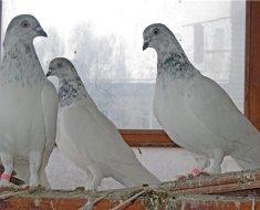 Выставочные голуби породы Венгры