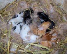 Выводок крольчат в гнезде