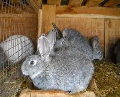 Кролики серый великан в клетке