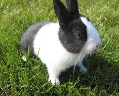 Голландский кролик на зеленой лужайке