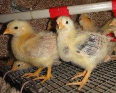 Цыплята Загорские Лососевые