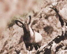 Сулаймановы козы в горах