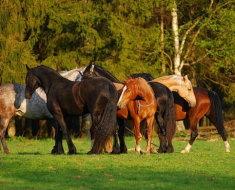 Косяк лошадей для случки
