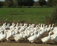Большое поголовье Итальянских гусей