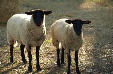 Латвийские темноголовые овечки
