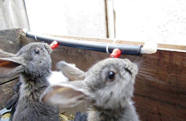Кролики пьют из ниппельных поилок