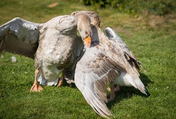 Бой между бойцовскими гусями