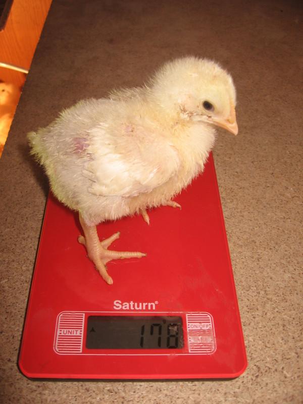 Цыпленок породы РОСС-708 стоит на весах