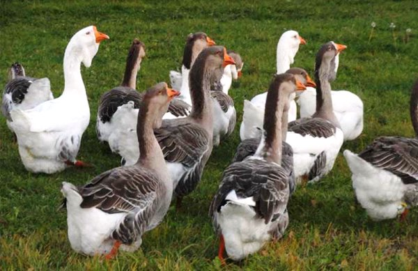 Холмогорские гуси на пастбище