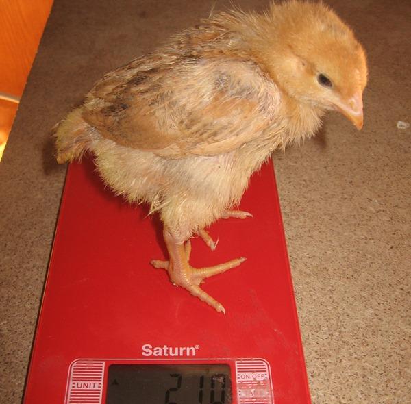 Двухнедельный цыпленок Венгерский великан на весах