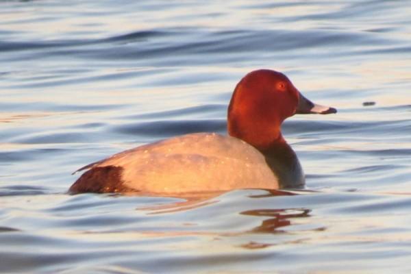 Красноголовая утка на озере