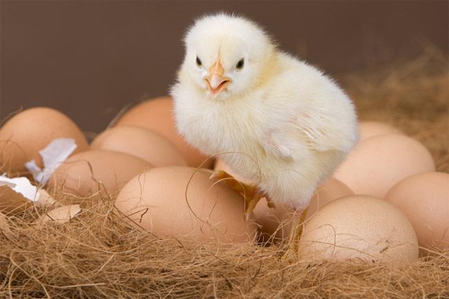 Птенец залез на яйца
