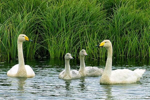 Семья лебедей-кликунов