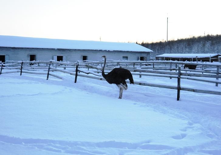 Одинокий страус в загоне