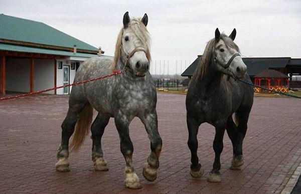 Две серые лошади
