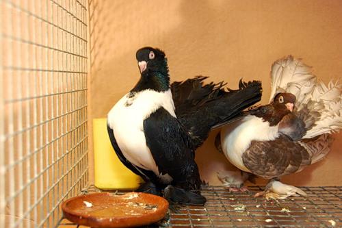 Статные голуби разных окрасов