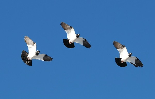 Крестовые голуби в полете