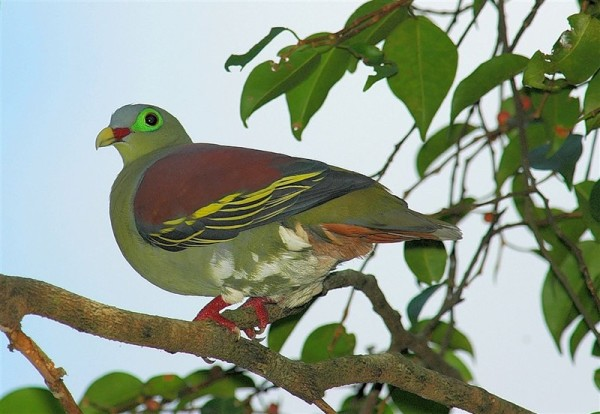 Зеленый голубь в лесах