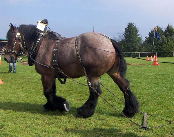 Першеронский конь в упряже
