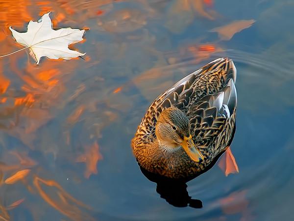 Подсадная утка в осеннем водоеме