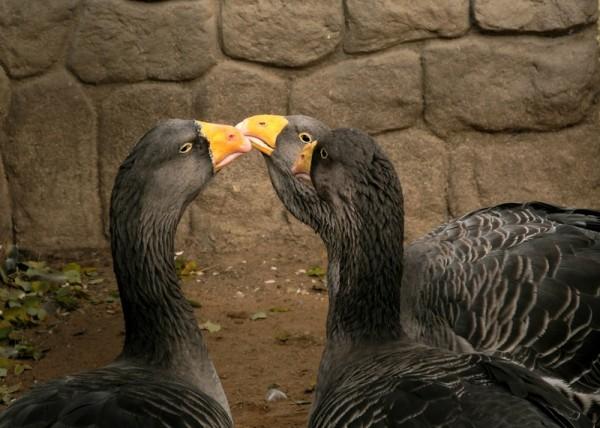 Бойцовые домашние гуси
