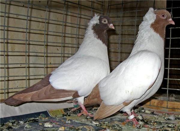 Два крестовых голубя в клетке