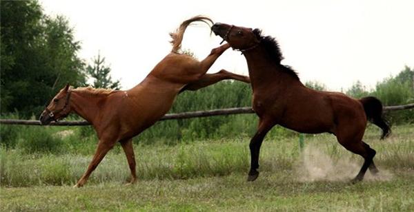Разозленная кобыла бьет другого коня