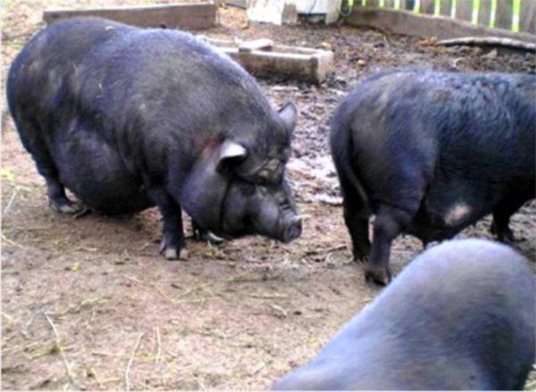 Взрослые вьетнамские свиньи