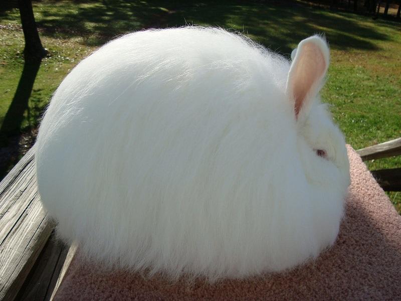 Карликовый ангорский кролик