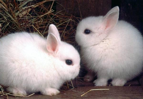Два польских кролика