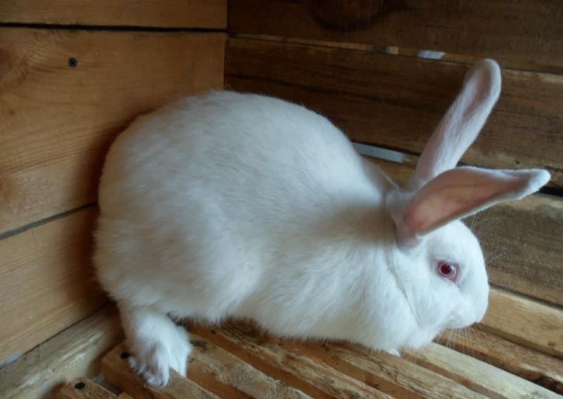Белый великан на деревянном полу