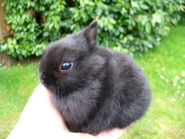 Серый декоративный крольчонок