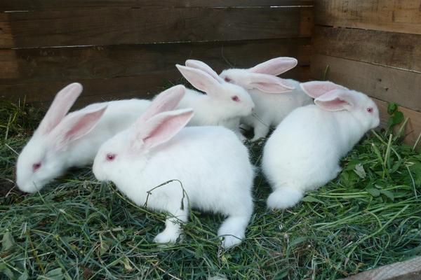 Несколько кроликов обедают