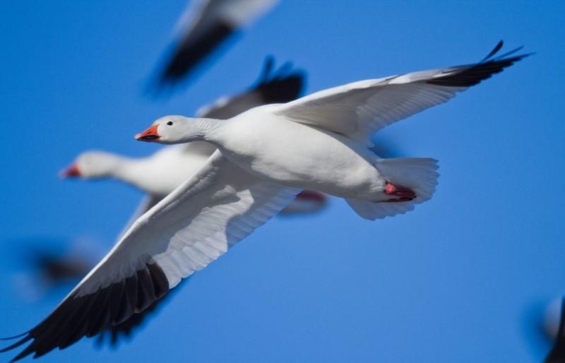 Пара диких Белых гусей в полете