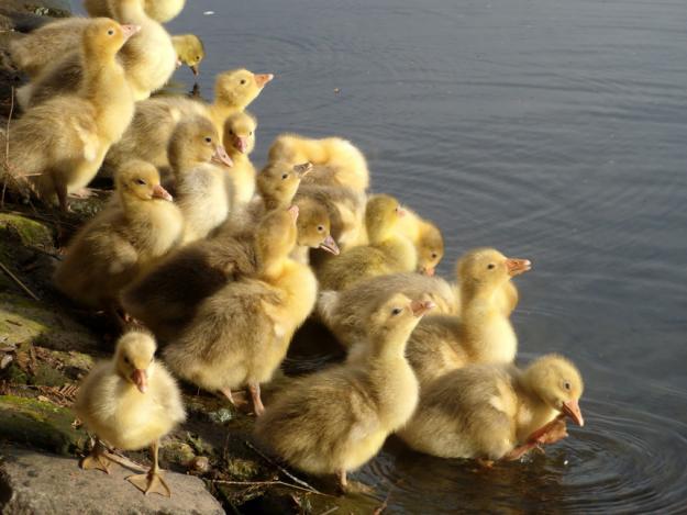Подросшие птенцы у воды