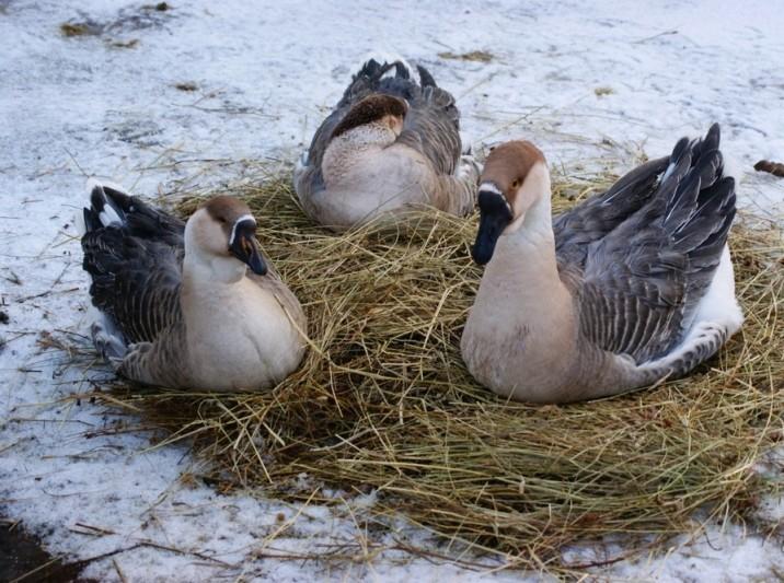 Кубанские гуси сидят на сене