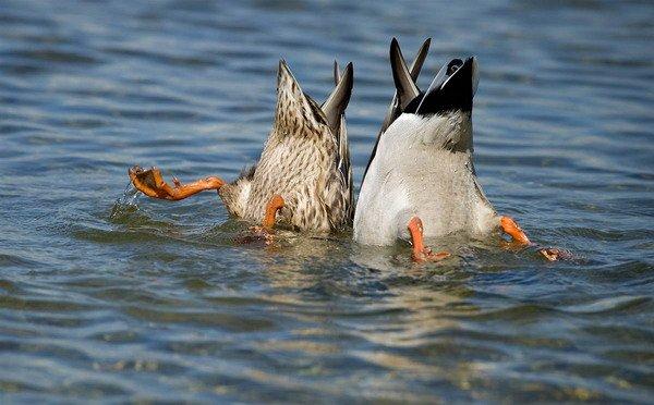 Утки нырнули в воду
