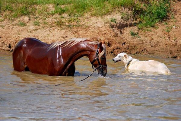Конь и собака в реке